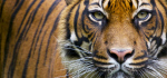 A new population survey in India shows tigers making a modest comeback. Photo credit: WWF.
